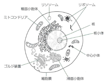 人間の細胞の機能と構造 細胞の中には何が入っている?役割を ...